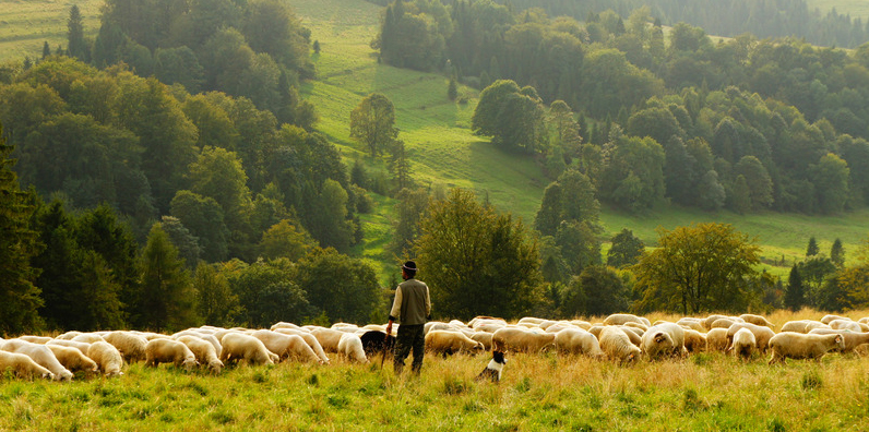 Sheep Listen to Their Shepherd